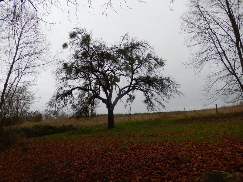 4 Misteln im Baum