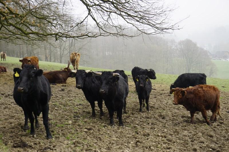 Glotzende Kühe am Bergischen Panormasteig