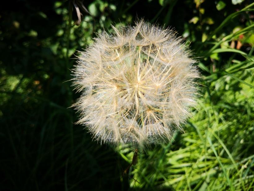Das filigrane Innere der Pusteblume schimmerte in der Sonne ganz golden